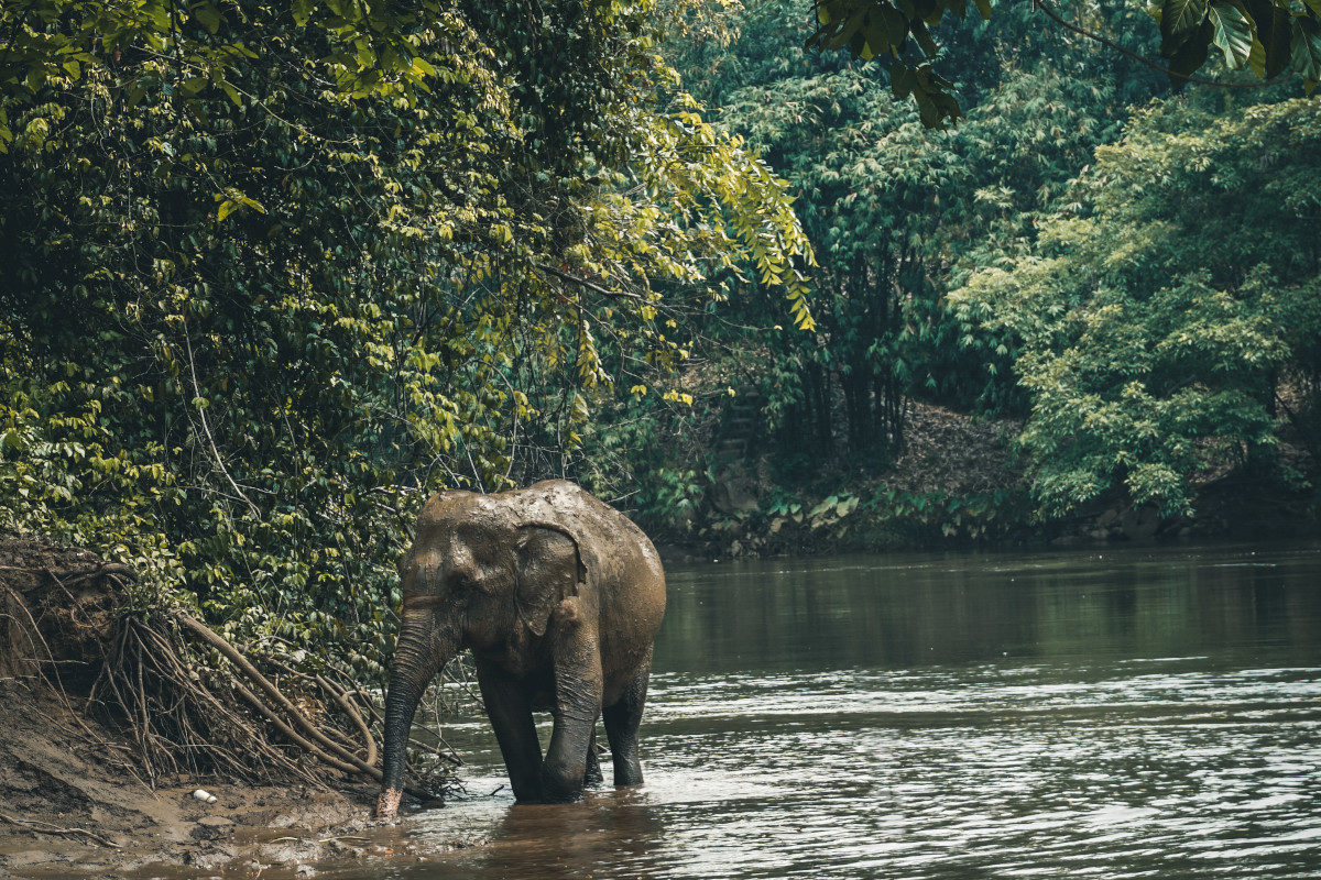 Asian elephant walks through river in the jungle in Thailand