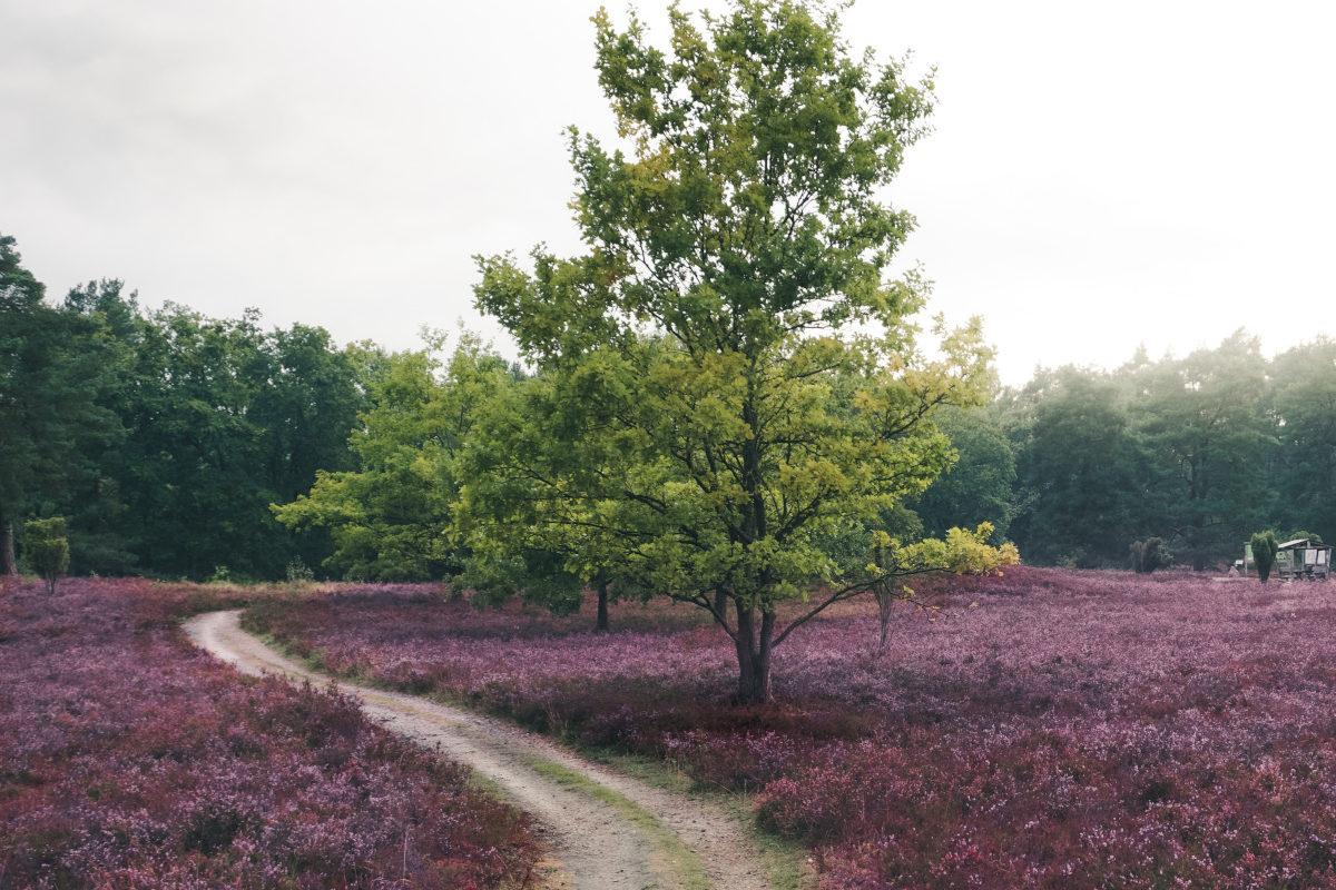 green tree in purple flowers in Lower Saxony