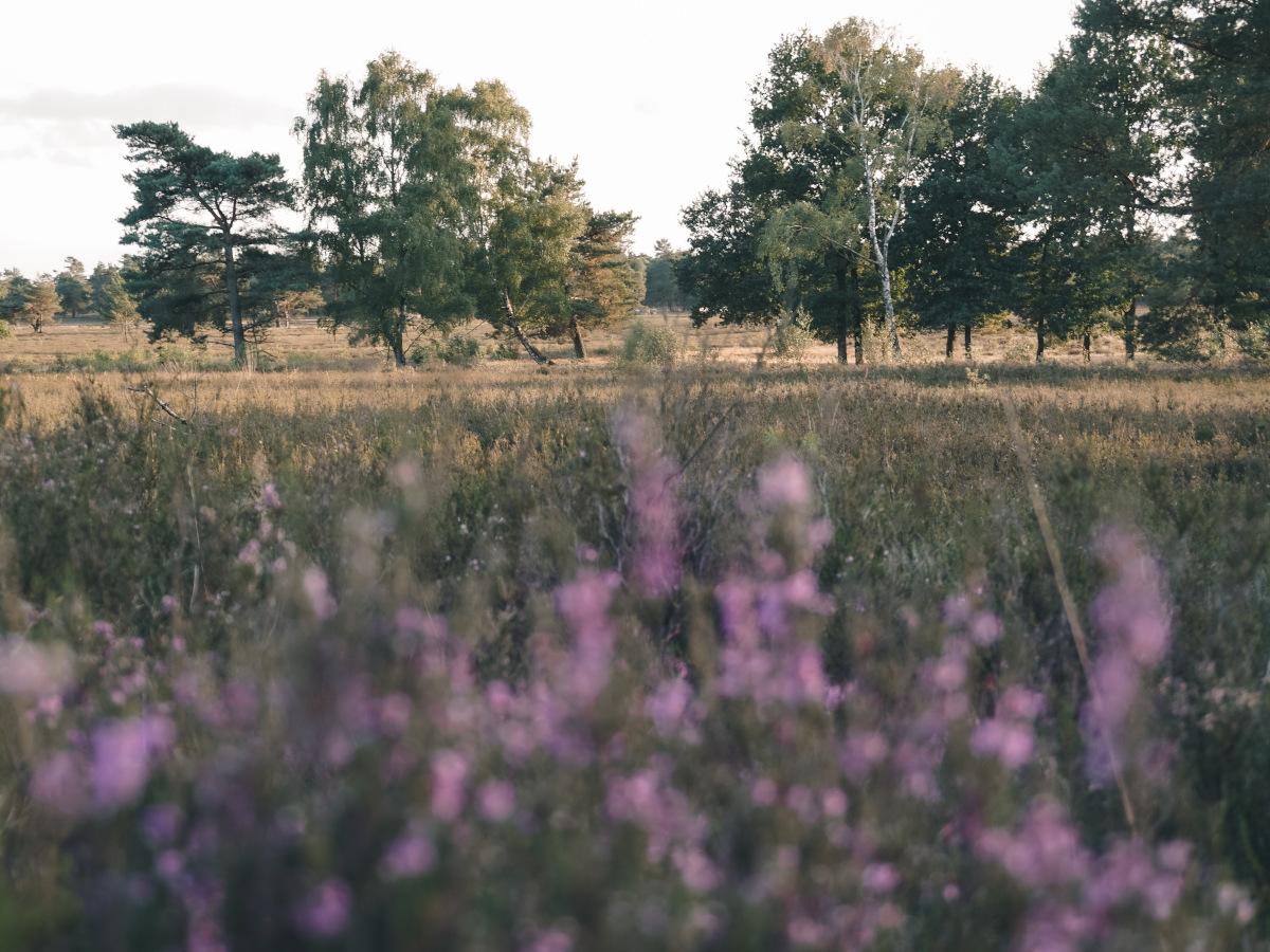 heather near Schneverdingen