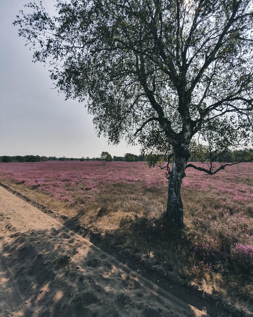 Remote tree i a heathland