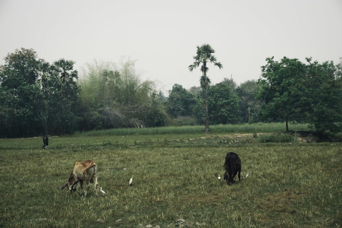 Cows graze in a pasture in Sukhothai