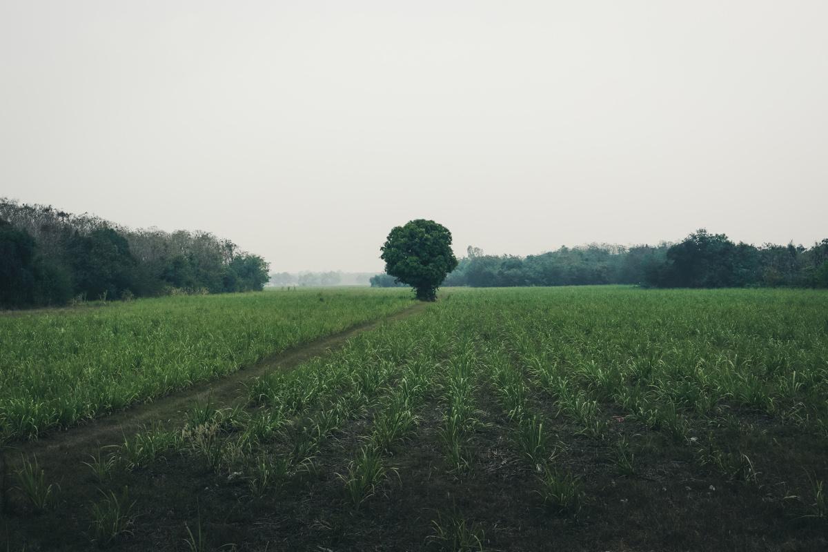 Single tree in a green field near Sukhothai