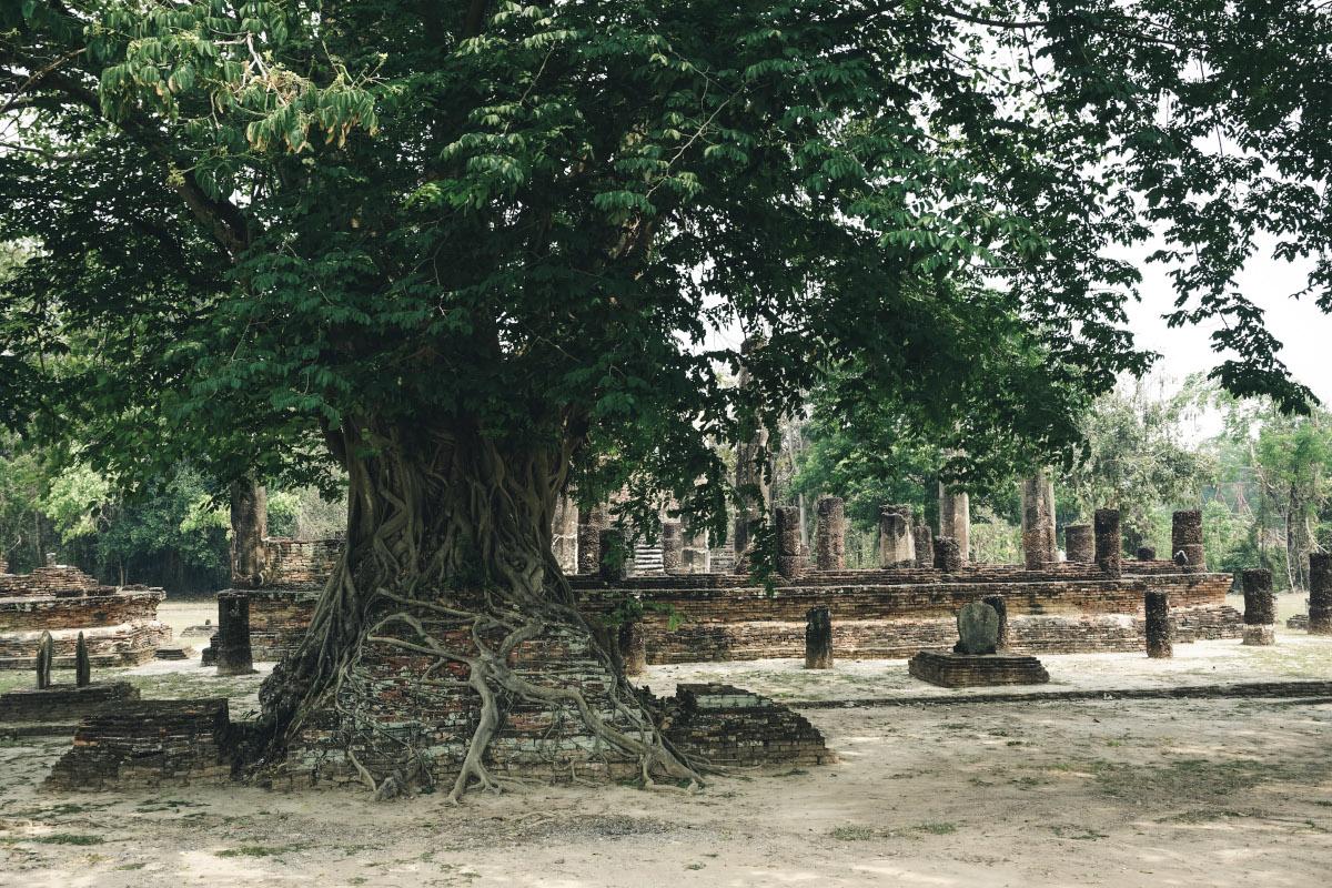 Old tree at Wat Mangkorn temple